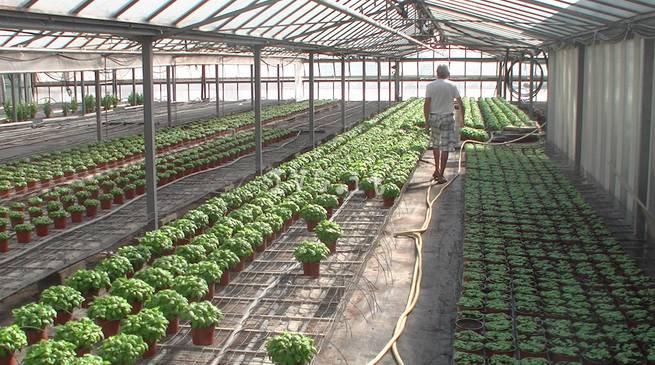 basilico-serre-agricoltura-244426.660x368