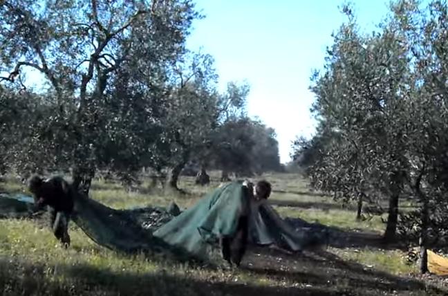 La raccolta delle olive in chiave satirica in un video for Raccolta olive periodo