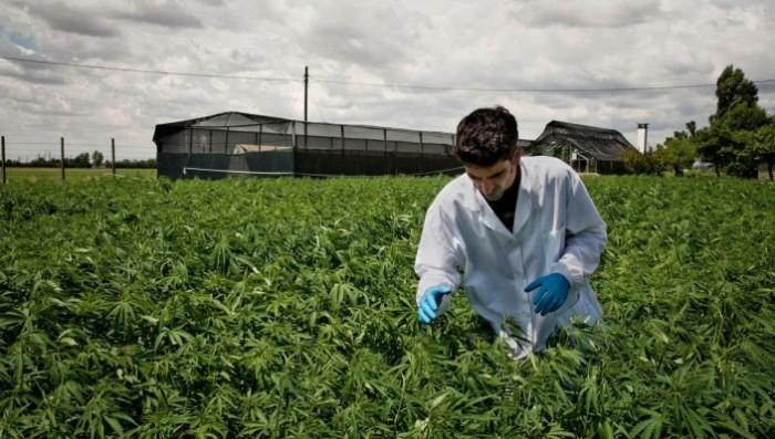 cannabis-coltivazione-704x400