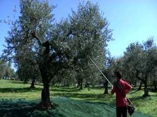 olive-raccolta
