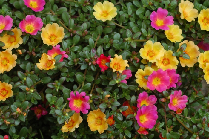 Unidentified_Portulaca_flowering_in_a_garden_1