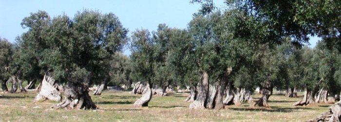 ulivi-secolare